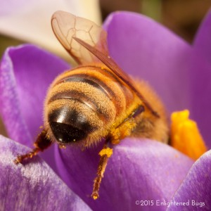 European honey bee worker on crocus