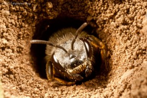Ground-nesting swear bee