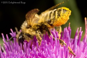 Leafcutter bee female on thistle