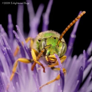 Green sweat bee male on thistle