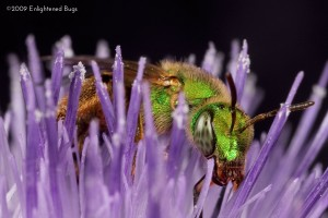 Green sweat bee female on thistle
