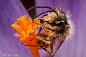 Mining bee male on crocus