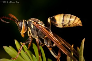 Western paper wasp on yew