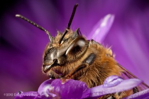 Honey bee worker on aster