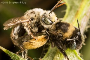 Long-horned bees mating on thistle